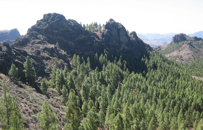 Vegetación en el entorno del Roque Nublo