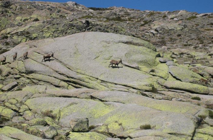 Cabra montés Laguna Grande de Gredos
