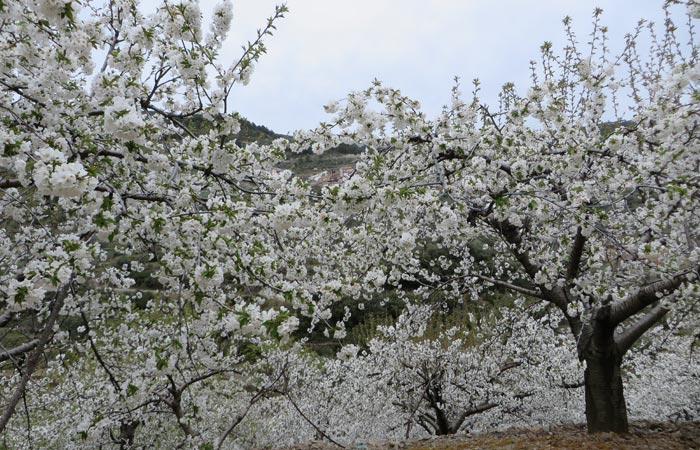 Campo ce cerezos junto a Casares de Las Hurdes