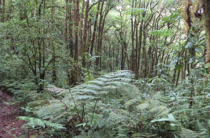 Grandes helechos del bosque nuboso qué hacer en Monteverde