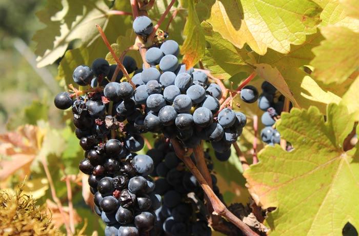 Uvas en una de las vides que se ven en el camino senderismo en Salamanca Miradores de las Sierras