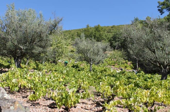 Campo de vides y olivos cerca de Santibáñez de la Sierra senderismo en Salamanca Miradores de las Sierras