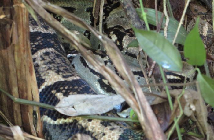 Boa constrictor Parque Nacional Manuel Antonio