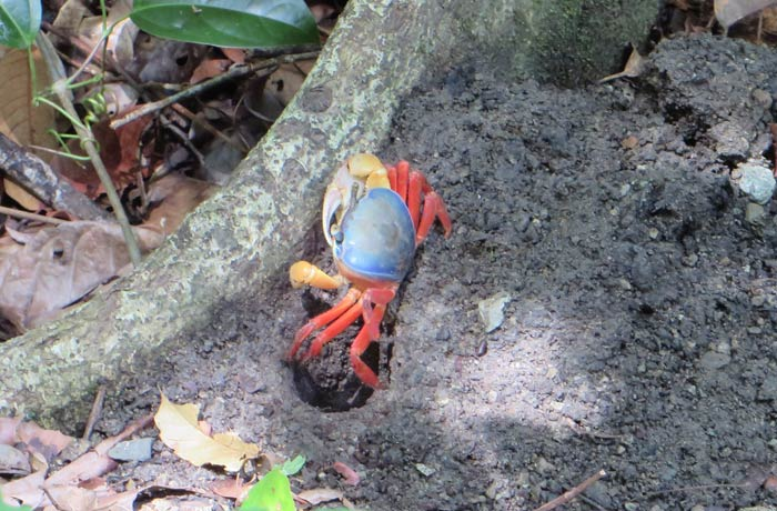 Uno de los coloridos cangrejos que se pueden ver Parque Nacional Manuel Antonio