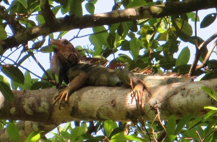 Una gran iguana Parque Nacional Manuel Antonio