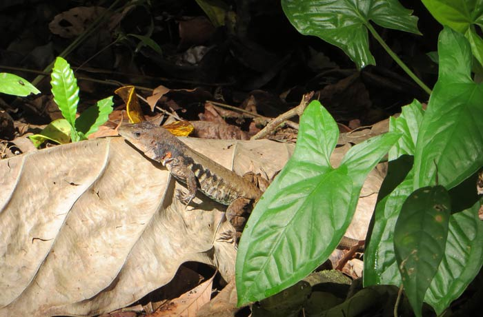 Un pequeño lagarto Parque Nacional Manuel Antonio