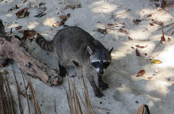 Uno de los muchos mapaches que se ven Parque Nacional Manuel Antonio