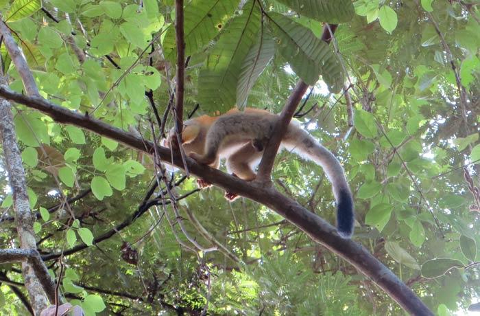 Los escurridizos monos araña Parque Nacional Manuel Antonio