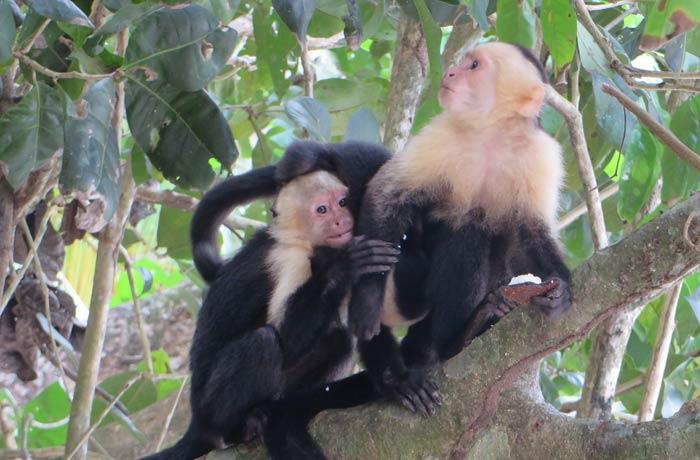 Varios monos capuchinos en un árbol Parque Nacional Manuel Antonio