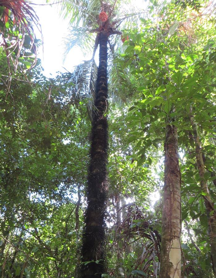 Inmensa palmera con pinchos Parque Nacional Manuel Antonio