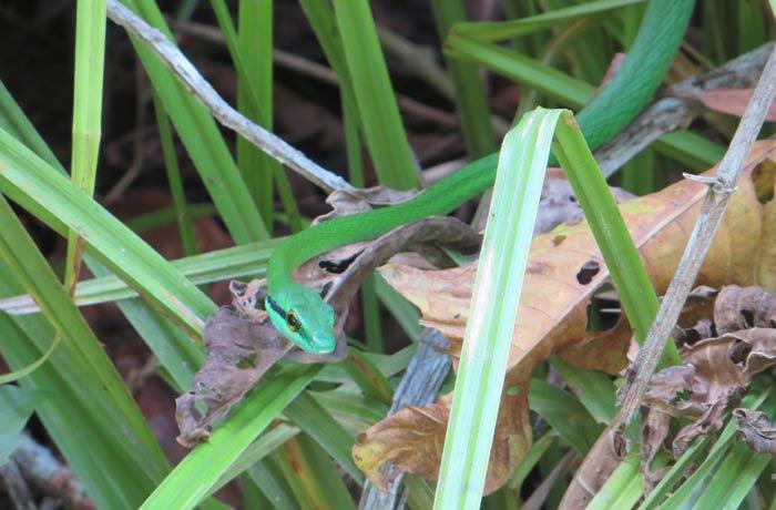 Una serpiente verde Parque Nacional Manuel Antonio