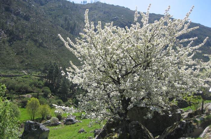 Cerezo en flor Sierra de la Estrella