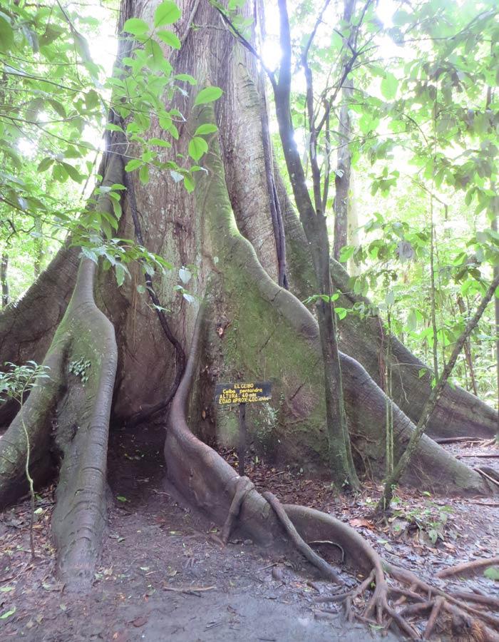 Ceibo de 200 años de antigüedad Volcán Arenal