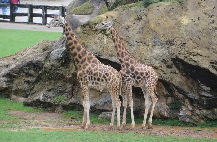Dos girafas zoo de cabárceno