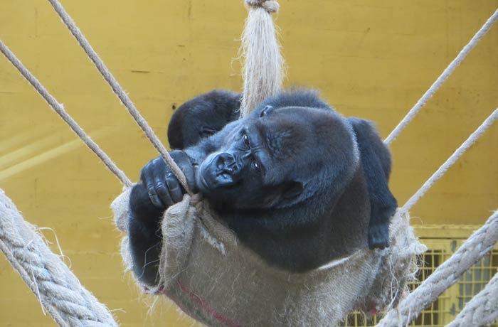 Un gorila descansado un rato zoo de cabárceno