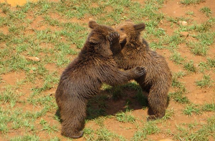Dos pequeños osos pardos jugando en su recinto zoo de cabárceno