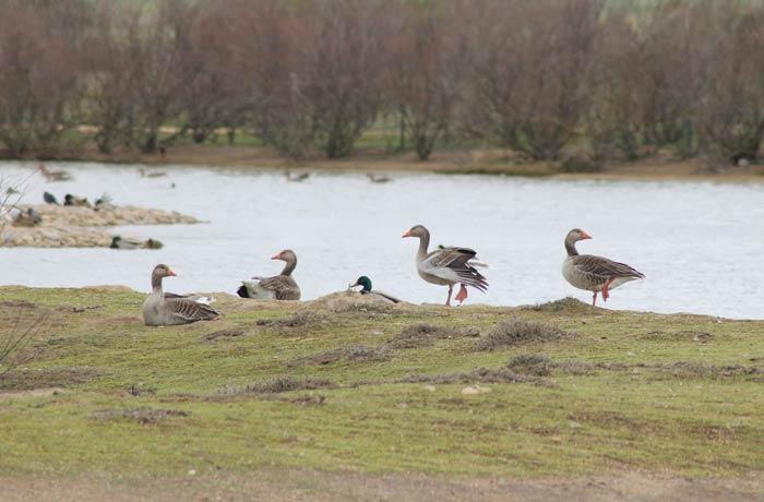Un grupo de gansos mejor época para visitar las Lagunas de Villafáfila