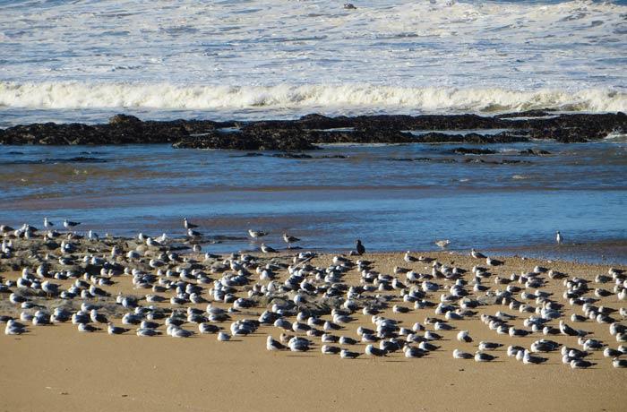 Una bandada de gaviotas en la playa
