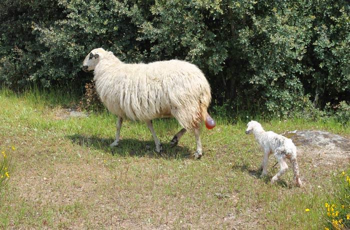 La oveja churra con su cordero recién parido