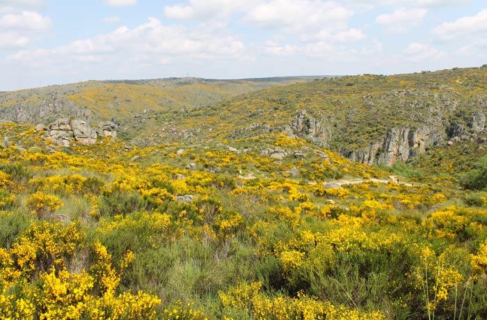 Paisaje de las Arribes dominado por la retama Cascada de Abelón