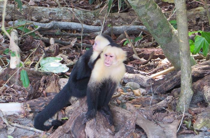 Monos capuchinos en playa Manuel Antonio