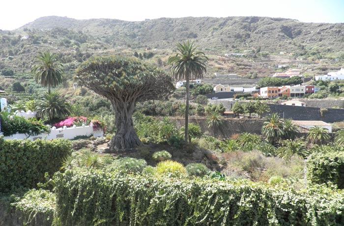 Drago Milenario de Icod de los Vinos qué ver en Tenerife